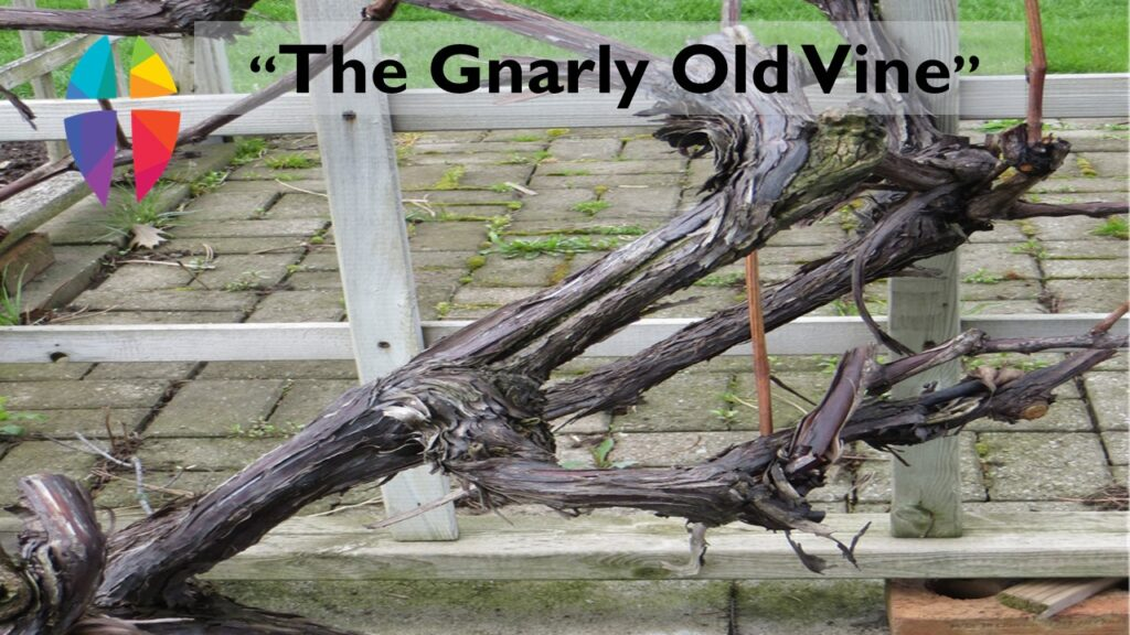 """""""THE GNARLY OLD VINE""""– SUNDAY, May 2, 2021"""